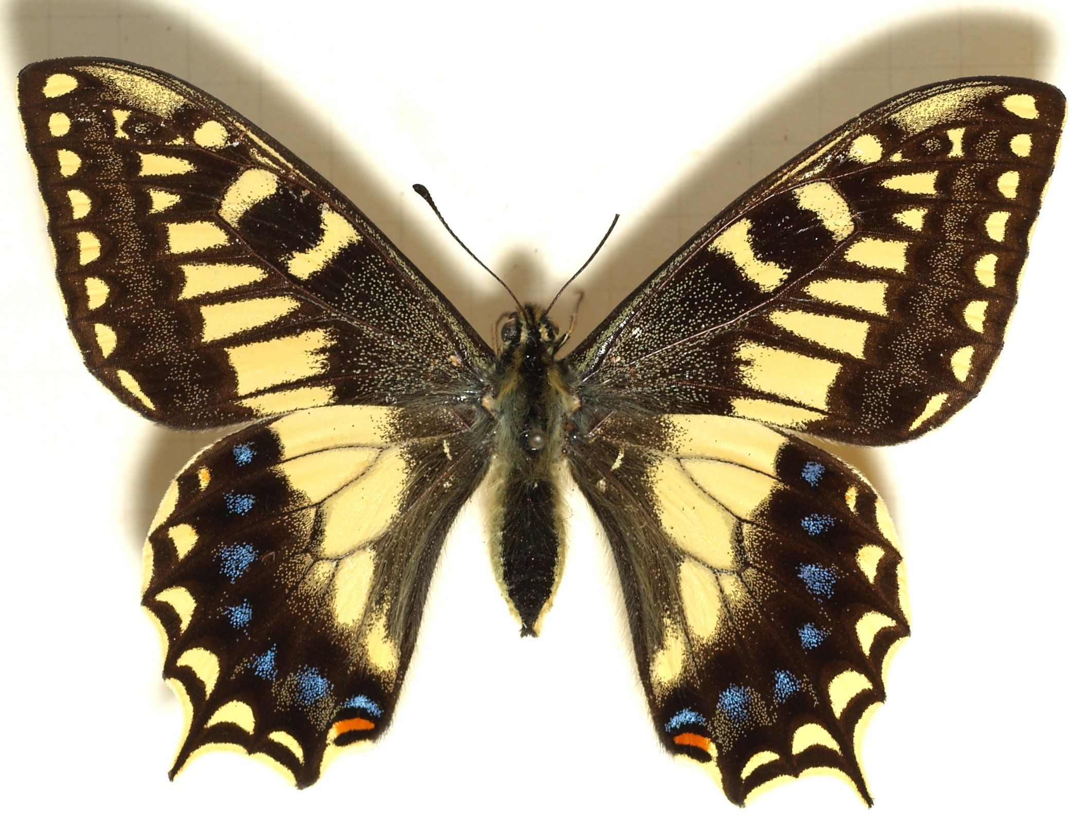 Papilio.hospiton